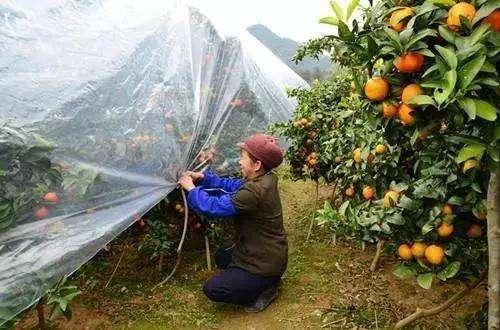 柑橘防寒布