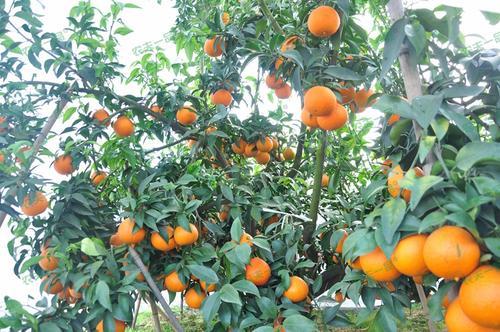 如何更好地延长柑橘防寒布的使用寿命?